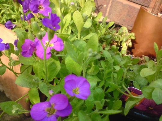 A garden flower photo (Aubrieta)