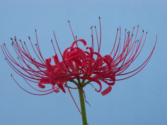 Red Spider Lily (Lycoris radiata (Higan Bana))
