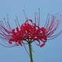 Red Spider Lily (Lycoris radiata (Higan Bana))