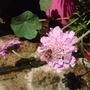 A garden flower photo (Scabiosa atropurpurea (Pincushion flower))