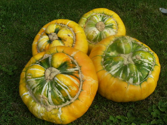 Gourds       ' Turk's Turban  '