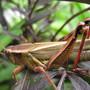 lovely red legs Melanoplus femurrubrum...female