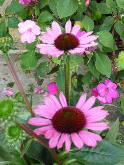 Echinacea - Purple Little Magnus (Echinacea)