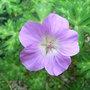 Geranium_orientalitibeticum