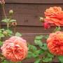 Rose `Summer Song`