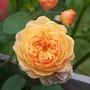 Rose `Princess Margrethe`