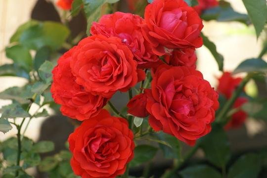 """Rose """"Trumpeter"""" (Floribunda Rose)"""