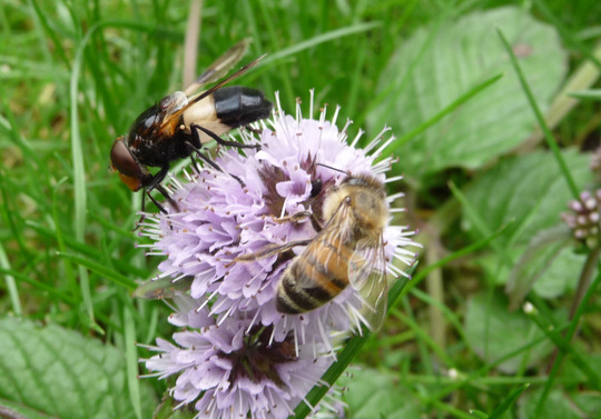 Pellucid hoverfly and honeybee .