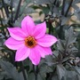 Dahlia_pink_on_purple_r