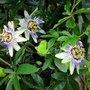 PASSIION FLOWERS