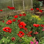 I want these poppies!!!!