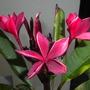 Plumeria 'Hilo Beauty' - Hilo Beauty Plumeria  (Plumeria 'Hilo Beauty' - Hilo Beauty Plumeria)