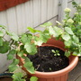 Vitis vinifera (Grape vine)