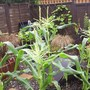 "Sweetcorn ""Sparrow"""
