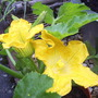 "Courgette ""Goldrush"""