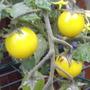 "Tomato ""Golden Nugget"""