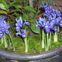 Irises at bay (Iris reticulata (Iris))