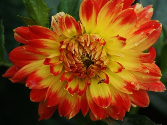 """Dahlia """"Procyon"""" (Dahlia Pinnata {Decorative Dahlia})"""