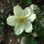 Anemone carolinia