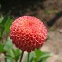 dahlia 'will's ringwood rosie' (dahlia)