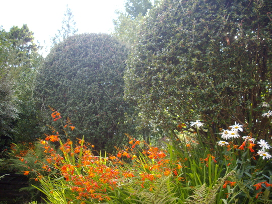 Cotoneaster simonsii (Cotoneaster simonsii)