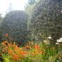 Cotoneaster simonsii