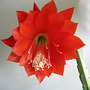 Orchid Cactus (Epiphyllum)