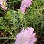 A garden flower photo (Sedum)