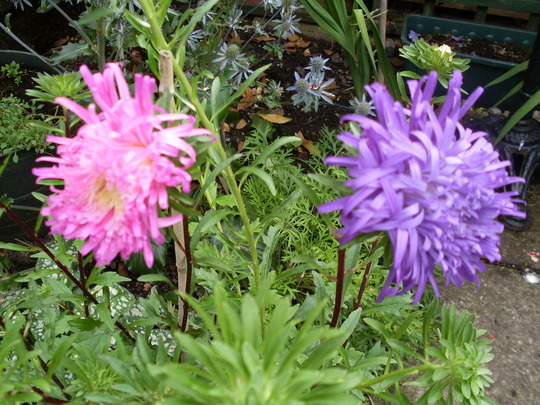 First Asters