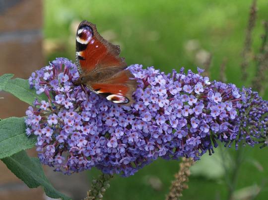 Butterfly on Buddleia (Buddleia davidii)