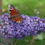 Butterfly on Buddleia (Buddleia davidii)