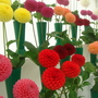 Didplay of pompom dahlias