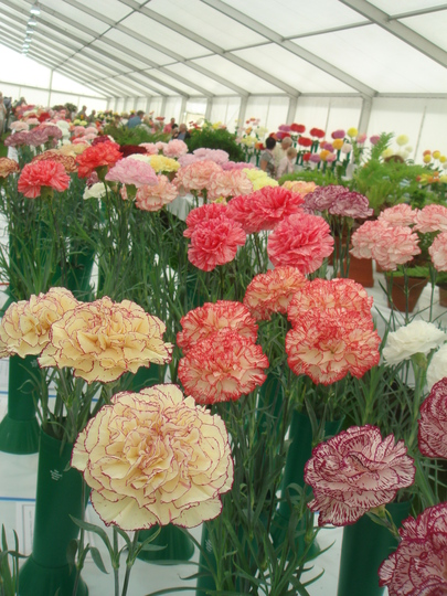 The carnation competition
