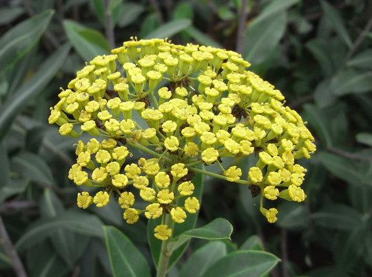 Bupleurum fruticosum - 2010 (Bupleurum fruticosum)