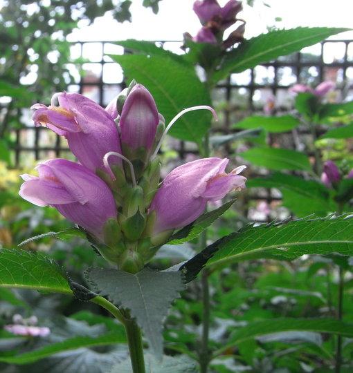 Chelone obliqua - 2010 (Chelone obliqua)