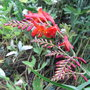 Crocosmia_lucifer_2010