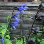 Salvia_guaranatica_black_and_blue_2010