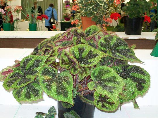 100_1438.jpg (Begonia Rex)