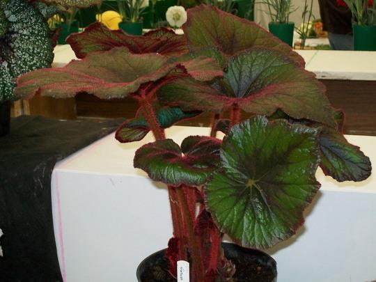 100_1439.jpg (Begonia Rex)