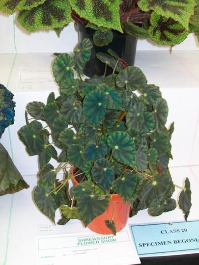 100_1441.jpg (Begonia)