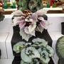 100_1442.jpg (Begonia Rex)
