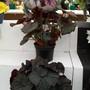 100_1443.jpg (Begonia Rex)