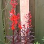 "labelia ""queen vicoria"""