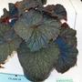 100_1445.jpg (Begonia Rex)