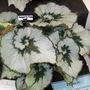 100_1446.jpg (Begonia Rex)