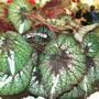 100_1449.jpg (Begonia Rex)
