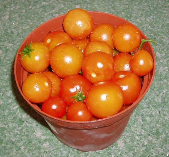 Tomatoes (Lycopersicon esculentum (Tomato))