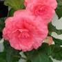 100_1451.jpg (double Tuberous Begonia)