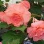 100_1452.jpg (double Tuberous Begonia)