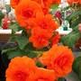100_1454.jpg (double Tuberous Begonia)